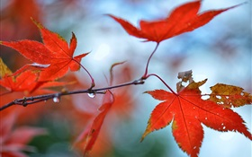 Red maple leaves, water drops HD wallpaper