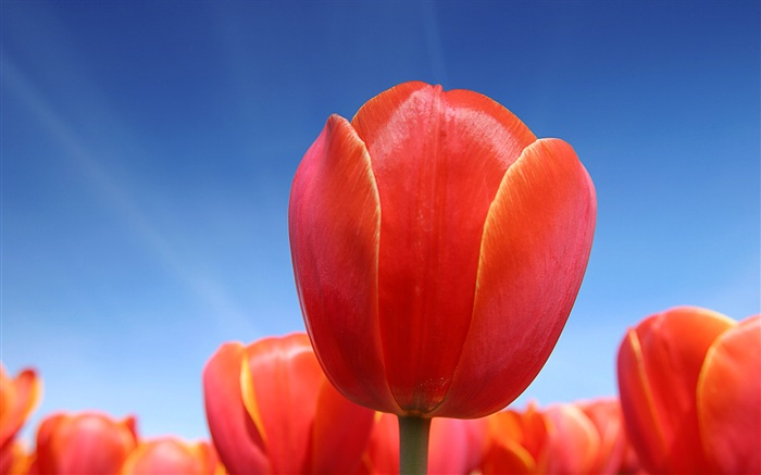 Red tulip flower close-up, blue sky Wallpapers Pictures Photos Images