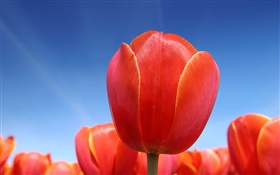 Red tulip flower close-up, blue sky HD wallpaper