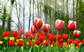 Red tulip flowers HD wallpaper