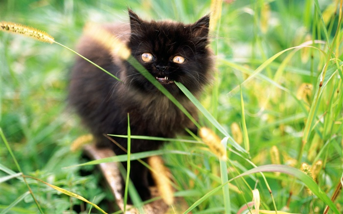 Small black kitten in the grass Wallpapers Pictures Photos Images