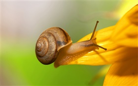 Snail close-up, yellow flower petals HD wallpaper