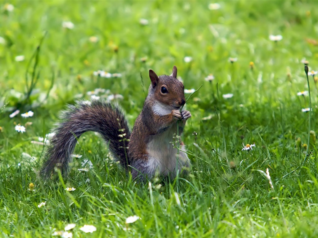 Squirrel in the grass 1024x768 wallpaper