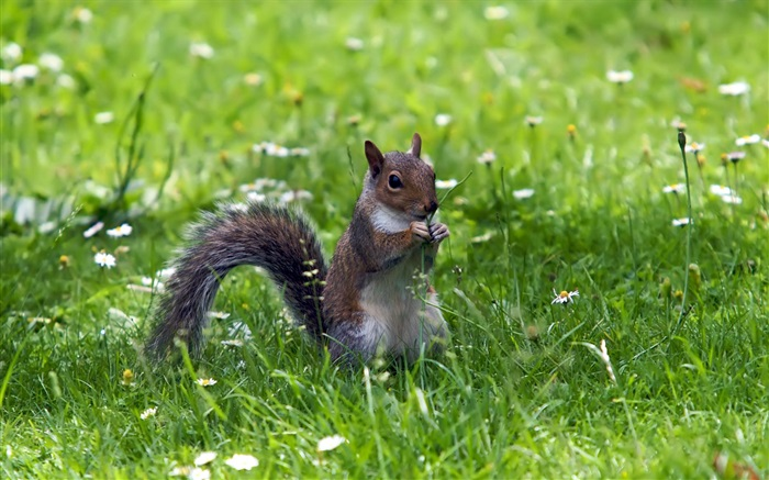 Squirrel in the grass Wallpapers Pictures Photos Images