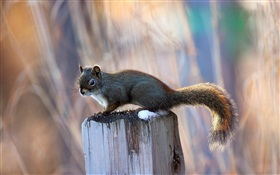 Squirrel on the stump HD wallpaper
