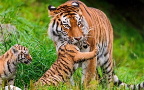 Tiger family, grass HD wallpaper
