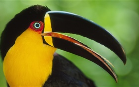 Toucans close-up HD wallpaper