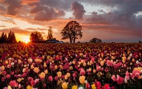 Tulip flowers field, warm sunset HD wallpaper