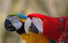 Two cute parrot HD wallpaper