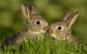 Two gray rabbit HD wallpaper