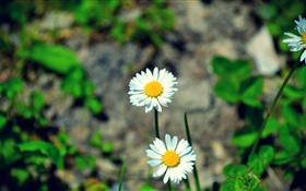 Two white daisies flowers HD wallpaper