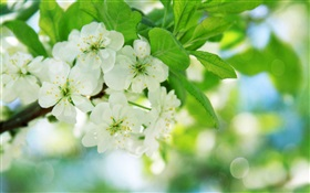 White cherry blossoms HD wallpaper