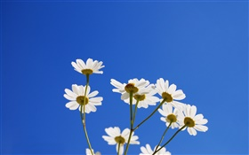 White little flowers, blue sky HD wallpaper