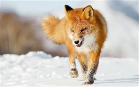 Winter fox HD wallpaper