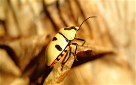 Yellow beetle close-up HD wallpaper