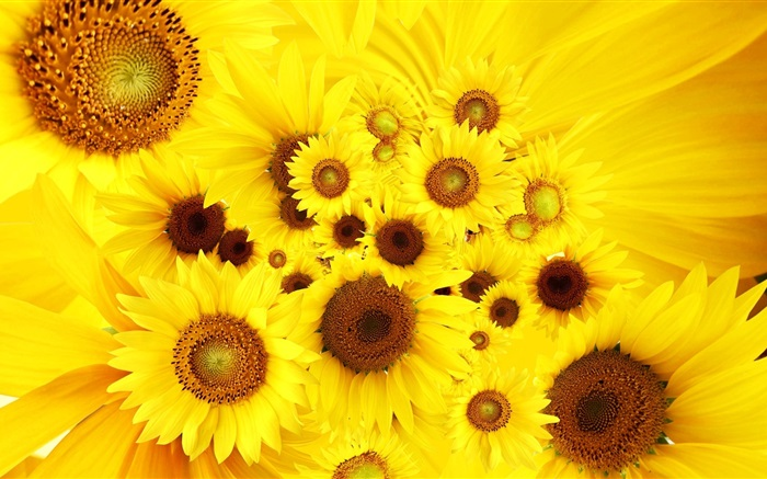 Yellow flowers, sunflowers Wallpapers Pictures Photos Images