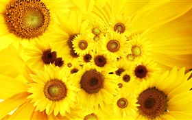Yellow flowers, sunflowers HD wallpaper