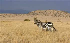 Zebra on the prairie HD wallpaper