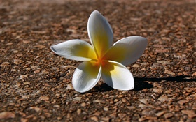 A frangipani, white yellow petals HD wallpaper