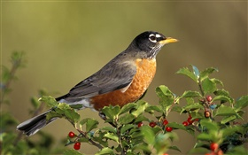American robin birds, turdus, berries HD wallpaper