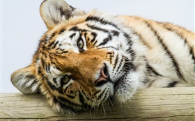 Amur tiger face close-up HD wallpaper