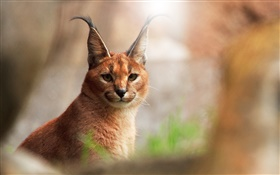 Animal close-up, caracal cat HD wallpaper