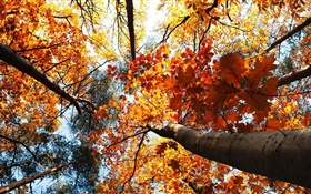 Autumn, maple trees, red leaves HD wallpaper