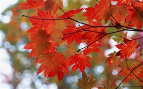 Autumn, red leaves, twigs