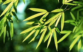 Bamboo leaves, sun HD wallpaper