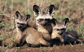 Bat-eared fox, Africa HD wallpaper