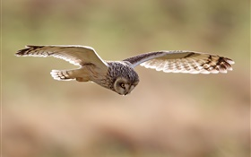 Birds close-up, owl flying HD wallpaper