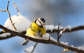 Birds close-up, titmouse, twigs, snow HD wallpaper