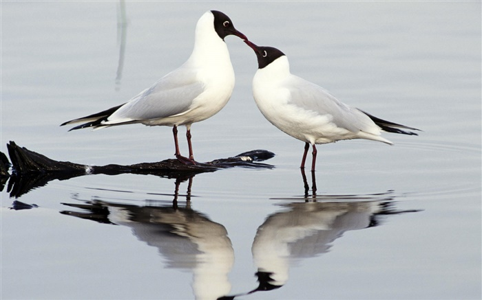 Black-headed gull, two birds, Europe Wallpapers Pictures Photos Images