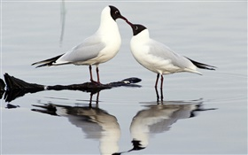 Black-headed gull, two birds, Europe HD wallpaper