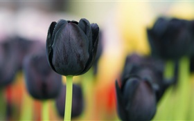 Black tulip flowers close-up HD wallpaper
