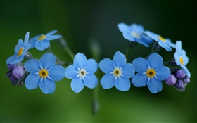 Blue flowers, forget-me HD wallpaper