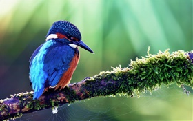 Blue kingfisher HD wallpaper