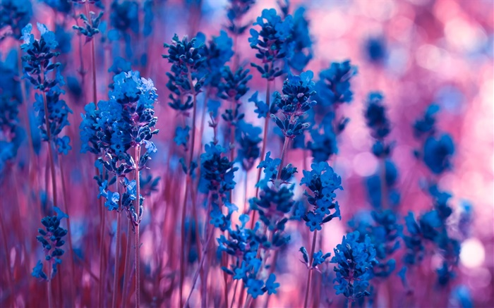 Blue lavender flowers close-up Wallpapers Pictures Photos Images