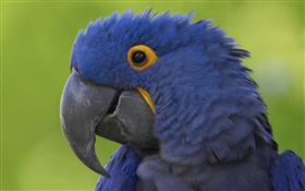 Blue parrot head close-up HD wallpaper