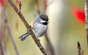 Boreal chickadee, twigs, Canada HD wallpaper
