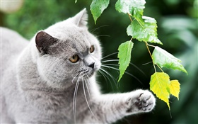 British cat, paw, leaves HD wallpaper
