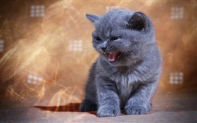 British shorthair yawn