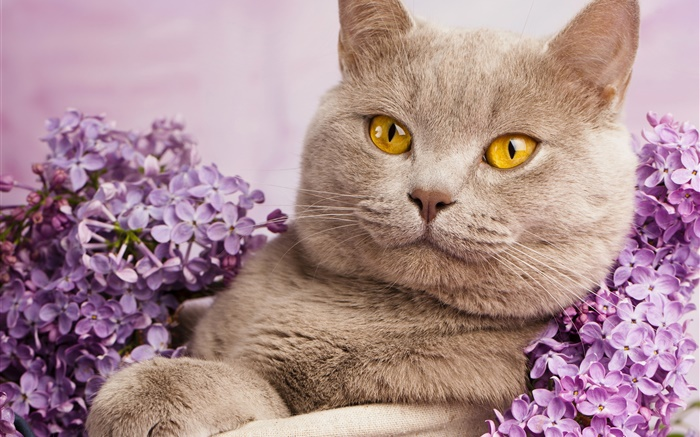 British shorthair, yellow eyes, cat with flowers Wallpapers Pictures Photos Images