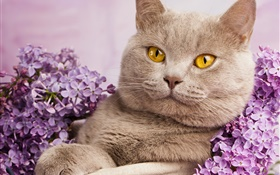 British shorthair, yellow eyes, cat with flowers HD wallpaper