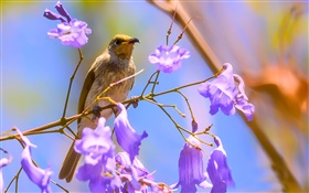 Brown honeyeater bird, jacaranda blooms HD wallpaper