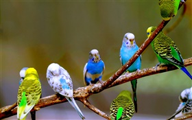 Budgies close-up HD wallpaper