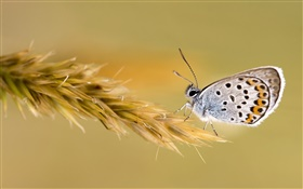 Butterfly on the wheat HD wallpaper
