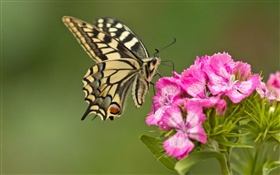 Butterfly, pink flowers HD wallpaper