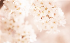 Cherry flowers, blurry HD wallpaper