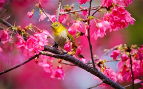 Cherry tree, flowers, bird HD wallpaper